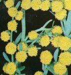 Plantes médicinales. Absinthe ou Herbes aux vers.