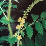 Plantes médicinales. L' Aigremoine , l'eupatoire des anciens, appartient à la famille des Rosacées.