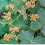 Achémille ou Manteau des dames est une plante médicinale de la saint jean la partie employée est la plante entiere. elle aussi reconnue pour ses qualitées favorisant la digestion.